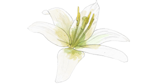 ingredient_white_lily